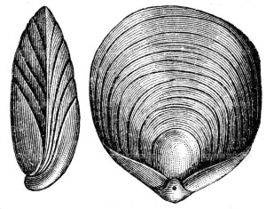 Woodcut of the Terebratula numismalis
